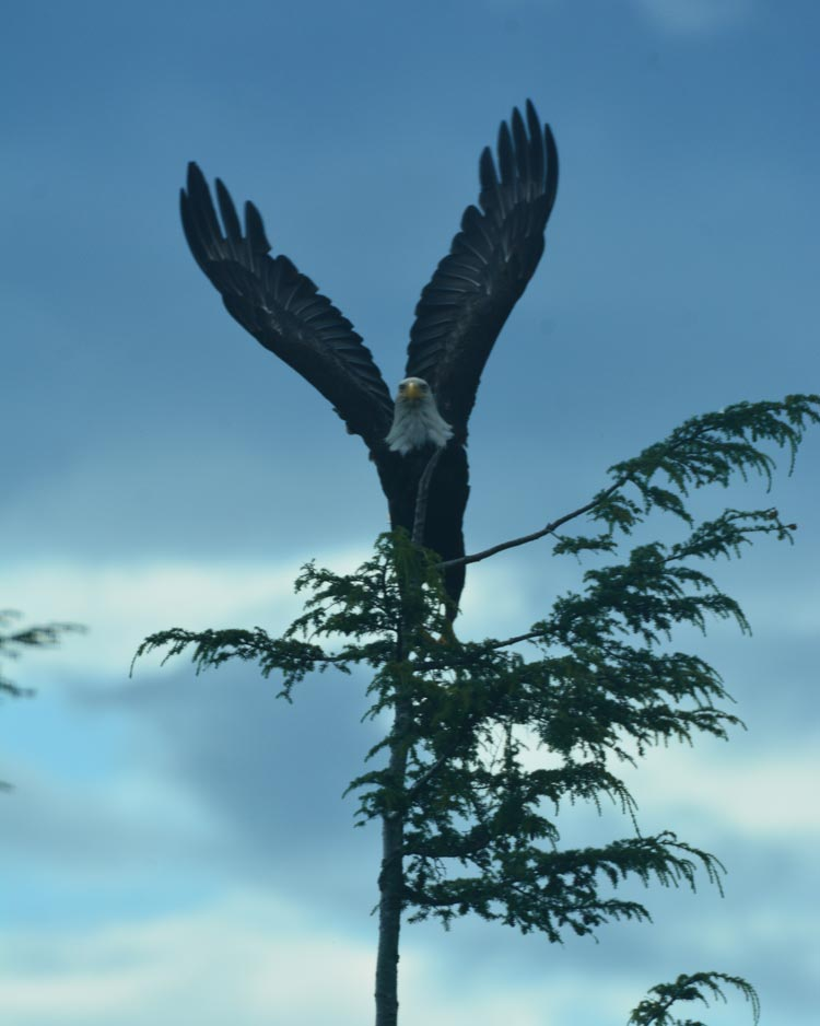 Eagle on tree with wings up
